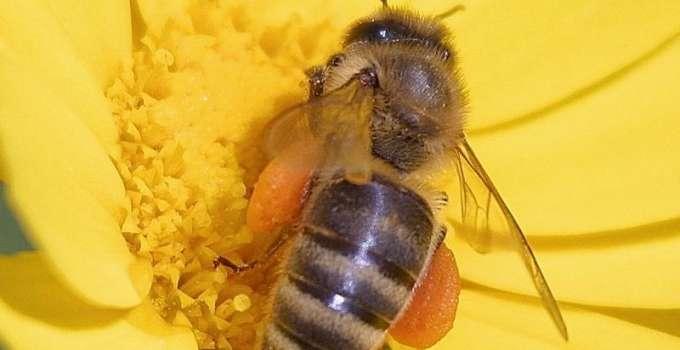 disparition des abeilles autour du naturel. Black Bedroom Furniture Sets. Home Design Ideas