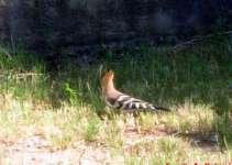 Oiseau huppe