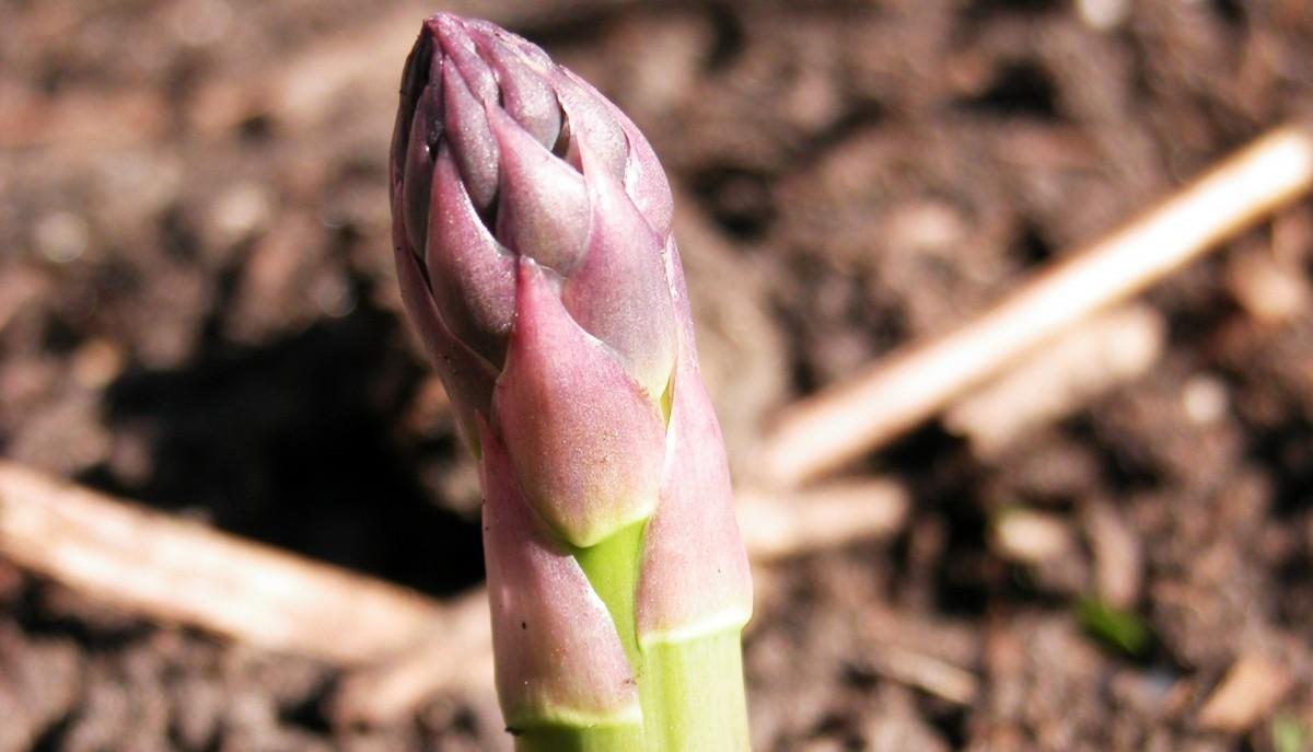 Bientôt la saison des asperges, comment en profiter?