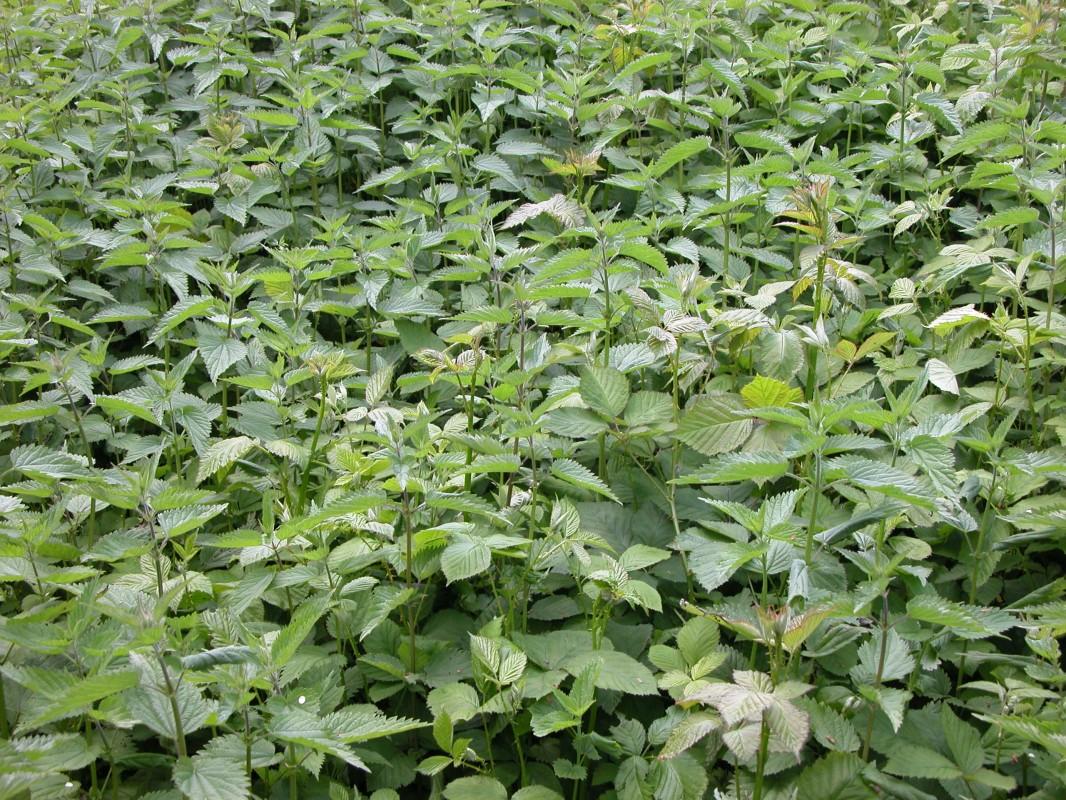 Le purin d 39 orties pourquoi et comment autour du naturel - Comment utiliser le purin d ortie ...