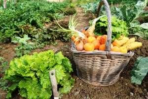 Cueillette de légumes au potager.