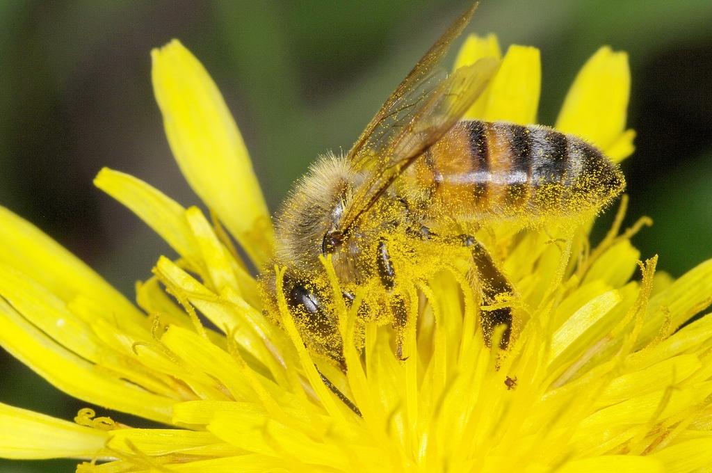 piq re de gu pes abeilles frelons bourdons que faire autour du naturel. Black Bedroom Furniture Sets. Home Design Ideas