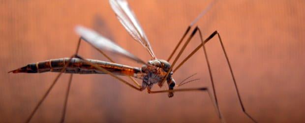 Eloigner les moustiques naturellement