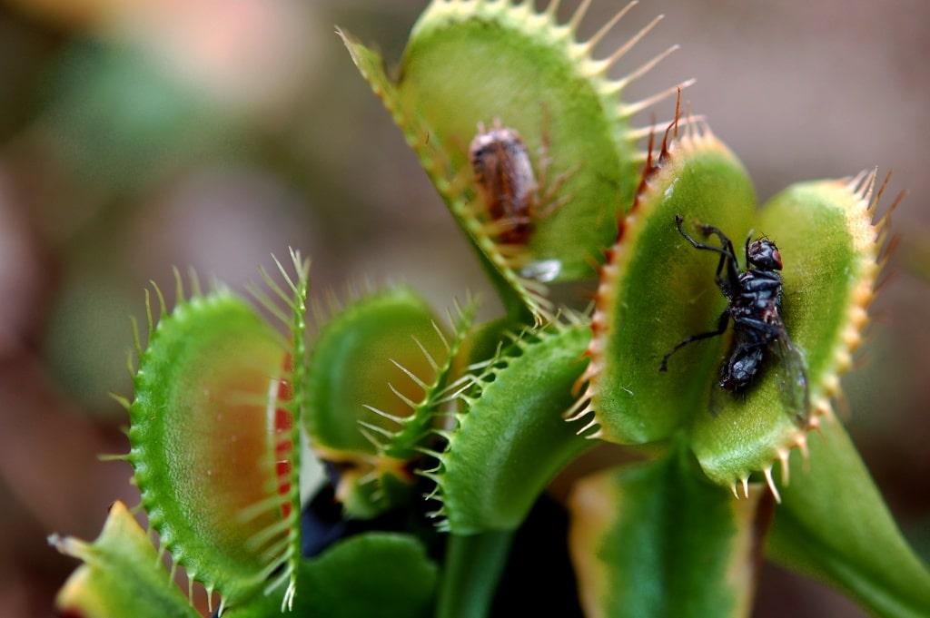 plante carnivore qui mange les moustiques