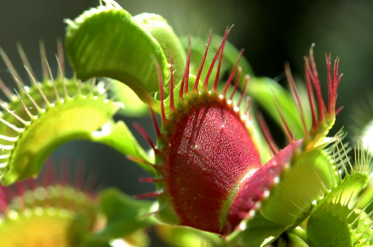 plante carnivore qui mange une mouche