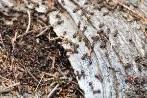 La terre de diatomée, un anti-fourmis naturel
