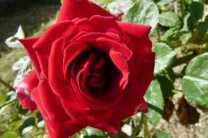 rose éclose