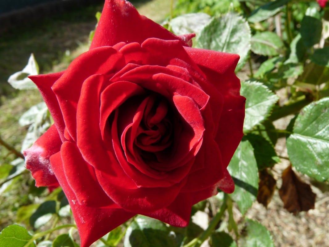 Vinaigre de rose fait maison : pour une beauté au naturel