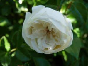 rose blanche éclose