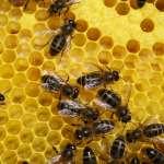 les abeilles font de la propolis