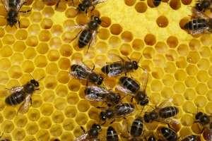 ruche_abeille_pollen