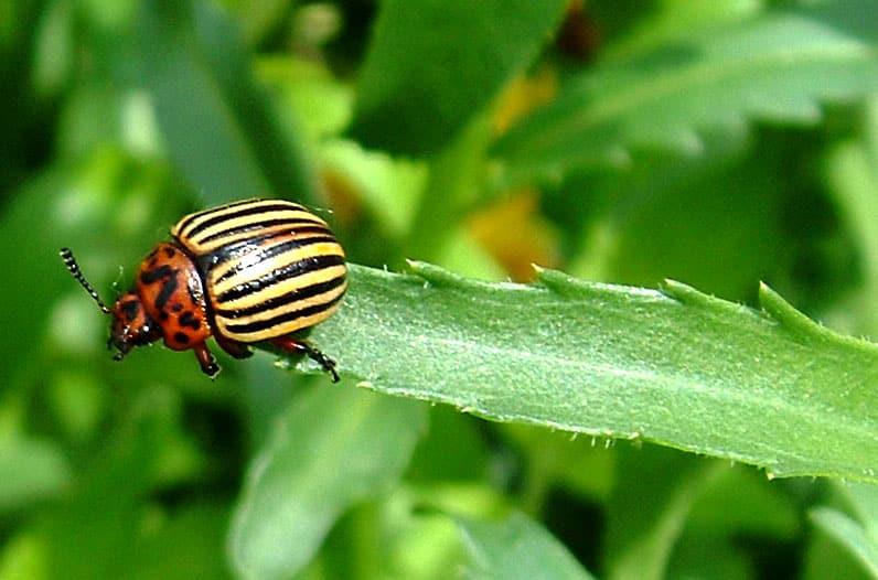 Se débarrasser des doryphores en agriculture bio
