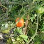 Que faire de vos tomates vertes (pas mûres) ?
