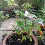cultiver son thé - camelia sinensis